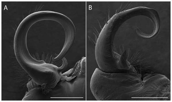 Scanning electron micrographs of the gonopods of Apheloria virginiensis corrugata (A) and Sigmoria whiteheadi (B), lateral view.