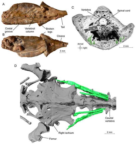Acima, à esq., o fóssil conhecido como MNHN.F.QU17755; em C e D, restos de algumas fibras musculares revelados pela tomografia