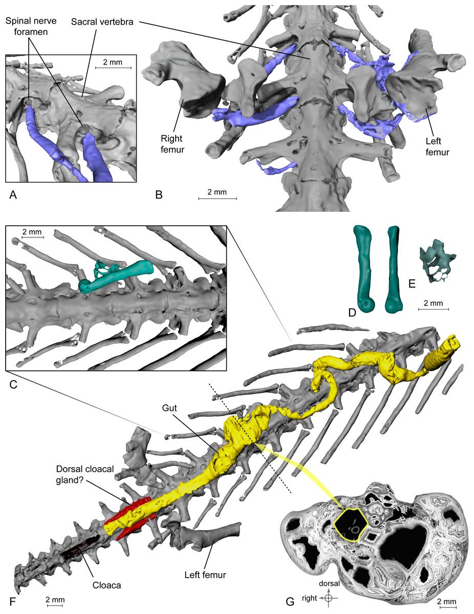 Em A e B temos os indícios dos nervos bem-preservados; em C-E, ossinhos de anuro localizados no interior do tubo digestivo (F e G).