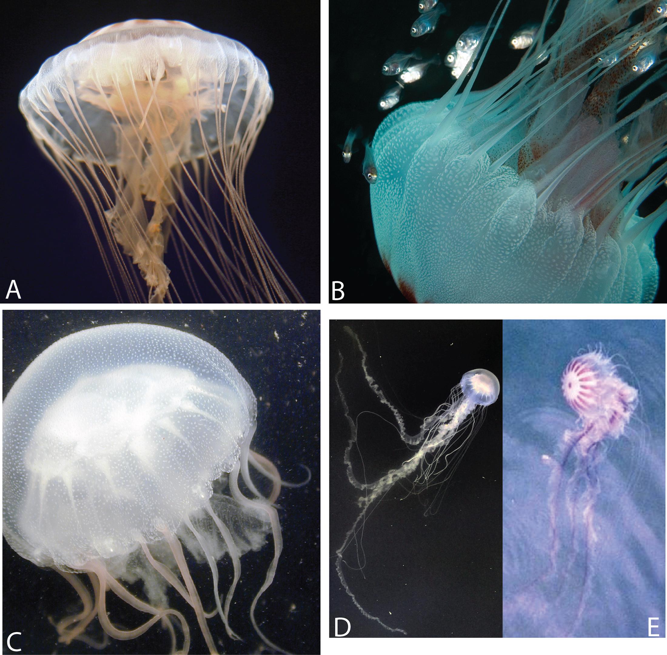 Multigene phylogeny of the scyphozoan jellyfish family