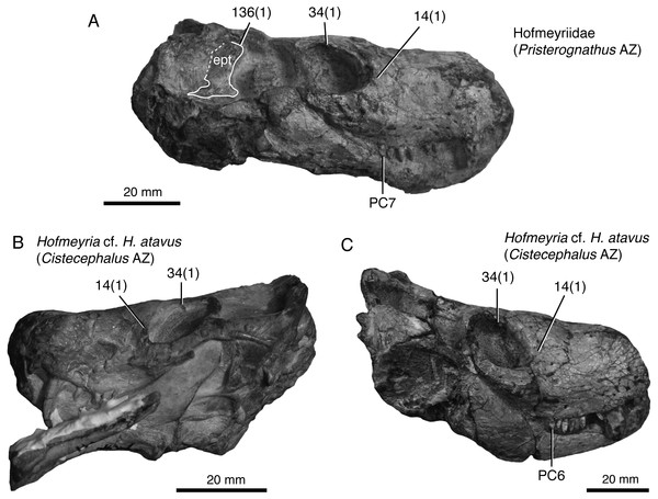 Representative hofmeyriid from the late Capitanian or earliest Wuchiapingian of the Karoo Basin, South Africa, compared to other known specimens of Hofmeyria.