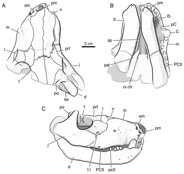 Interpretive line drawings of the holotypic skull of Microwhaitsia mendrezi gen. et sp. nov. (SAM-PK-K10990) in dorsal (A), ventral (B), and right lateral (C) views.