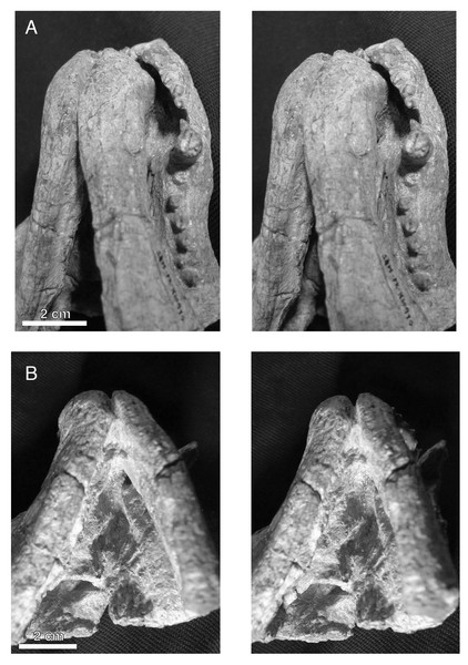 Stereopair images of the palate of the holotypic skull of Microwhaitsia mendrezi gen. et sp. nov. (SAM-PK-K10990) in left oblique ventral (A) and posteroventral (B) views.