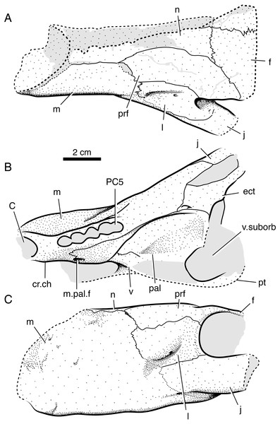 Interpretive line drawings of referred specimen of Microwhaitsia mendrezi gen. et sp. nov. (SAM-PK-K10984) in dorsal (A), ventral (B), and left lateral (C) views.