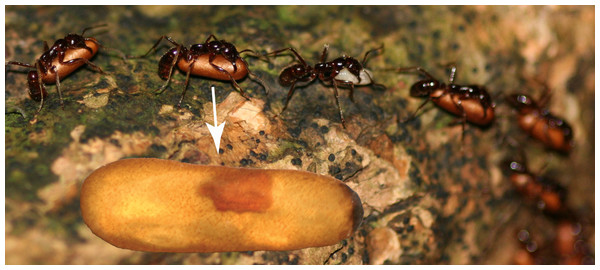 Host pupa infected with Macrodinychus parasitoid.