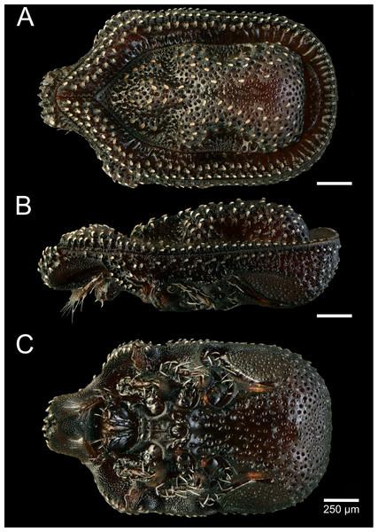 Macrodinychus (Monomacrodinychus) hilpertae holotype.