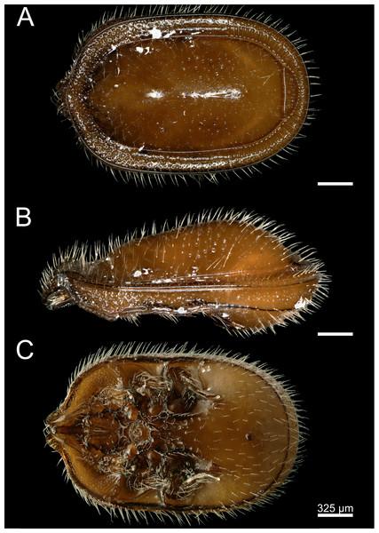 Macrodinychus (Monomacrodinychus) derbyensis holotype.