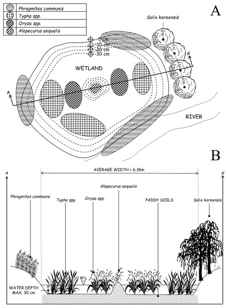 (A) Overhead view of the site optimally designed to follow ecological preferences demonstrated by Dryophytes suweonensis. The cut AA' is reported in Fig. 3B. The figure is not to scale. Water depths indicated are matching with the average depth of rice paddies, and therefore acceptable if not optimal for the species, and vegetation data is extracted from Borzée & Jang (2015). (B) Lateral view of the site optimally designed to follow ecological preferences demonstrated by Dryophytes suweonensis.