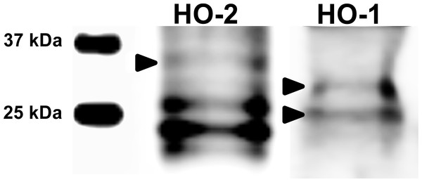 Immunoblotting of HO isoforms (HO-2, MW∼35,7 kDa; HO-1, MW∼33/28 kDa) in porcine oocytes.
