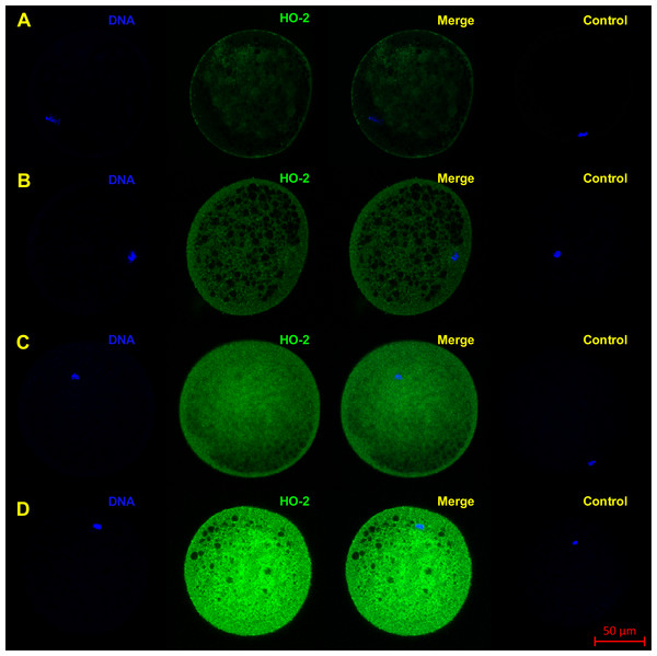 Localization of HO-2 in meiotically mature porcine oocytes (MII) (A) and in oocytes exposed to in vitro aging for 24 (B), 48 (C) and 72 (D) hours.