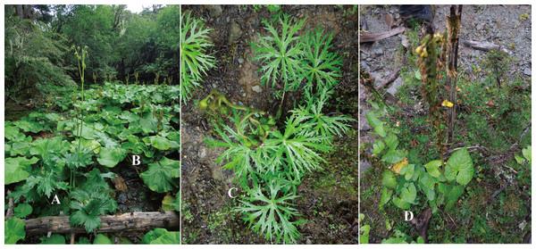 Putative hybrids and parental taxa in nature.