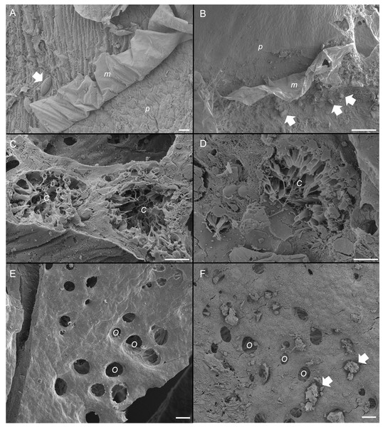 Scanning electron micrographs of the sponge, Ianthella basta in control (0 mg L−1) (A, C, E) and acute siliciclastic sediment exposure (B, D, F).