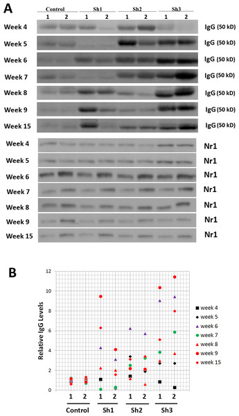 Longitudinal studies of excessive mouse IgG antibodies in mouse striatum transduced with all three scAAV8-D1shRNA virus.