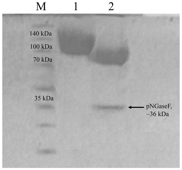 Sodium dodecyl sulfate-polyacrylamide gel electrophoresis (SDS-PAGE) profiles of purified CbhB.