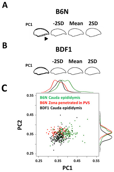 The first principal component distinguished variation in normal spermatozoa among strains and fertilization stages.