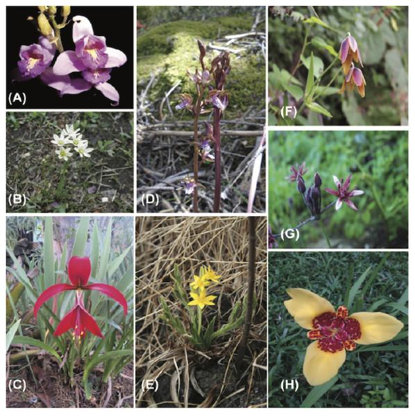 Representative monocot species of geophytes recorded in Mexico.
