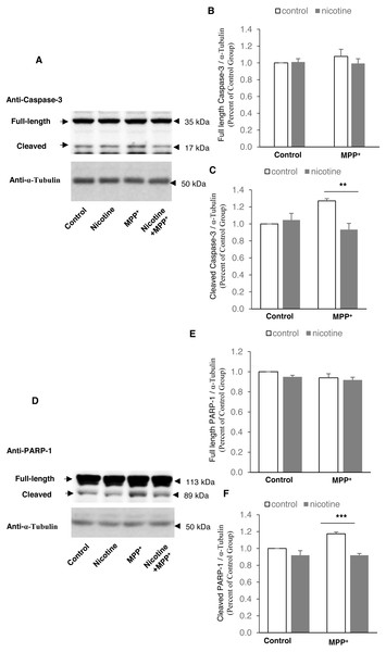 Nicotine pre-treatment inhibits PARP-1 and caspase-3 cleavage in MPP+-treated SH-SY5Y neuroblastoma cells.