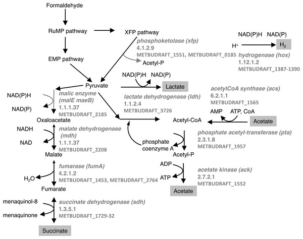 Predicted pathways for generation of excreted products in M. buryatense 5GB1.