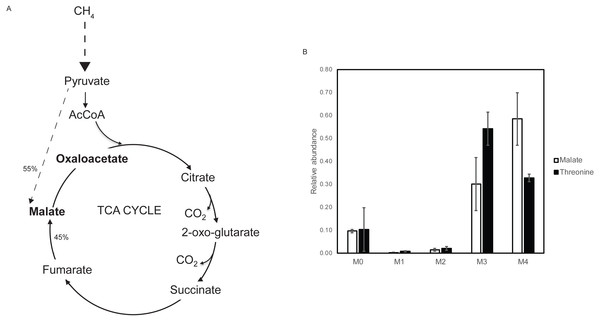 Steady state 13C tracer analysis of the aa3 cytochrome oxidase mutant strain.