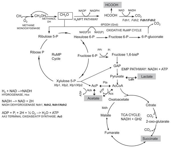 Summary of central metabolism in M. buryatense 5GB1.