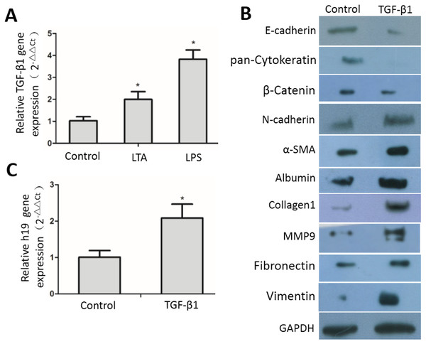 TGF-β1-induced expression of EMT markers, ECM proteins and H19 in MAC-T cells.
