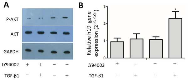 Inhibition of the PI3K/AKT pathway suppressed activation of TGF-β1-induced upregulation of H19 expression.