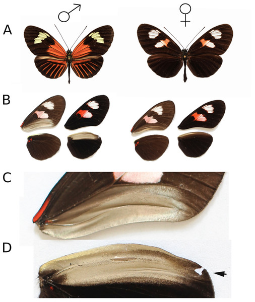 Heliconius melpomene wings showing androconial dimorphism.