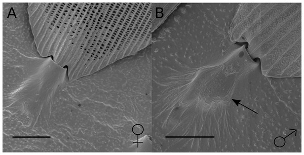 SEM images of scales from hindwing overlap region in female and male H. melpomene.