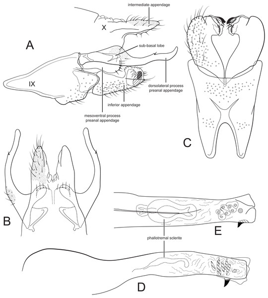 Male genitalia of Cernotina waorani, new species.