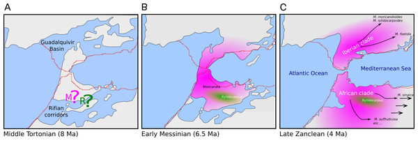 Hypothesis of the biogeography of the genus Moricandia coupled to the geological events at the end of the Miocene (A: Middle Tortonian; B: Early Messinian) and early Pliocene (C: Late Zanclean) in the Betic-Rifean Arch, the Strait of Gibraltar at current times.