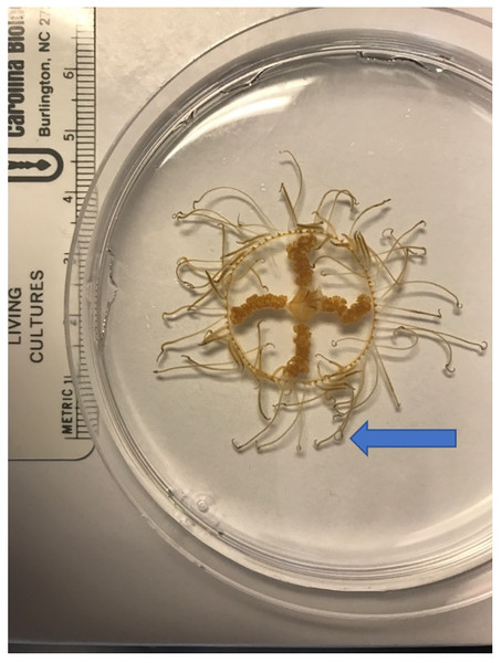 The clinging jellyfish Gonionemus sp.