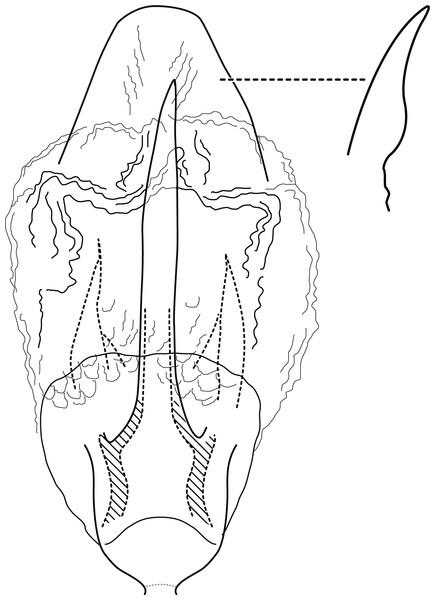 Contulma sangay, new species, female vaginal apparatus.