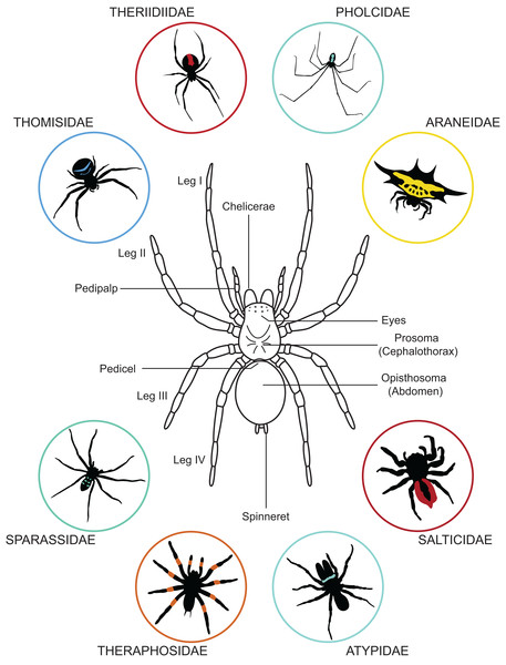 General anatomy of a spider and variation in body forms.