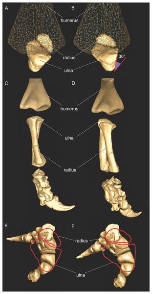 Antebrachial articulations of Mussaurus patagonicus.