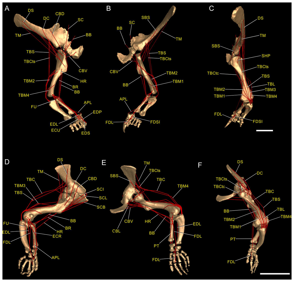 Forelimb muscle and joint actions in Archosauria: insights from