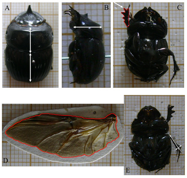 Dung beetle morphological functional trait measurements.