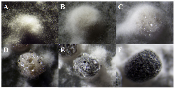 The formation of exudate droplets accompanying sclerotia development of Sclerotinia ginseng.