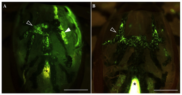Fluorescence in gut diverticular and salivary glands after feeding water with the tracer dye rhodamine 123 (Rh123).