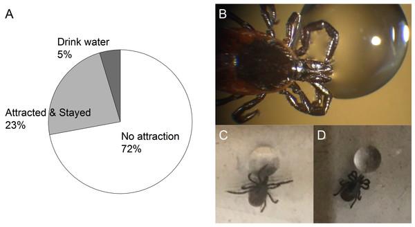 Three different patterns of behavior observed from the dehydrated unfed female I. scapularis when a water drop is offered.