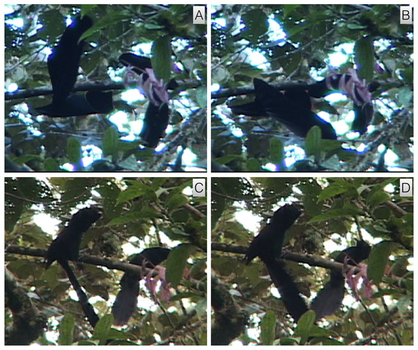 A. rothschildi inverted tail-fan and upright nape-peck with female interactive observation behavior.