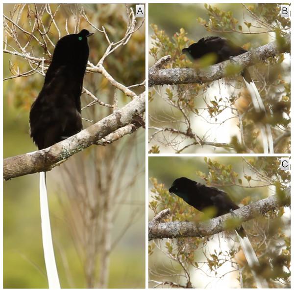 Upright sleeked posture and pre-copulatory nape-peck of A. mayeri.