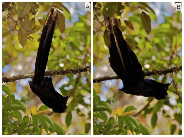 Inverted tail-fan display of A. nigra.