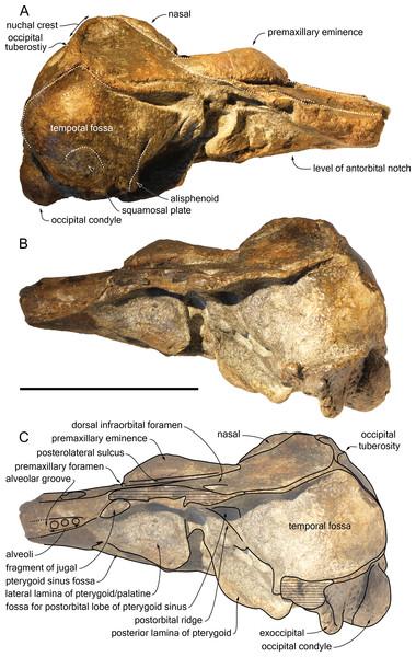 Lateral views of the cranium of Scaldiporia vandokkumi.