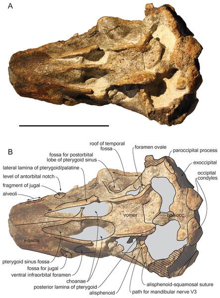 Ventral view of the cranium of Scaldiporia vandokkumi.