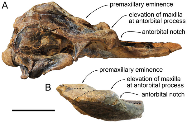 Comparison of the cranium for the pontoporiids Brachydelphis mazeasi and Protophocaena minima.