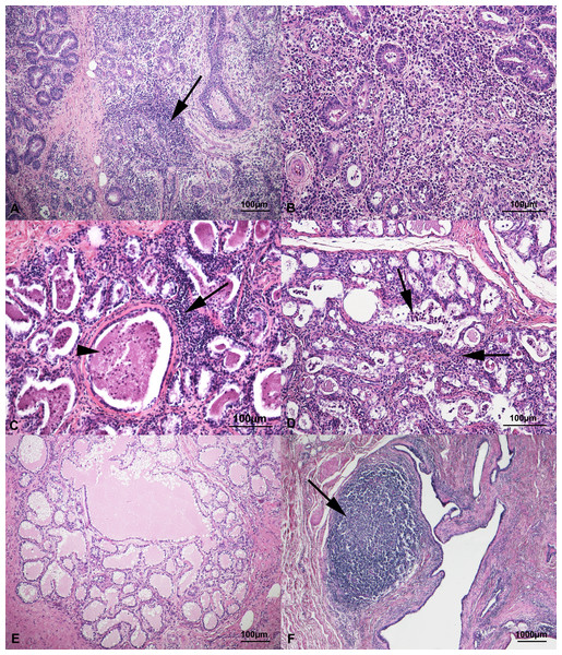 Histological findings in healthy mammary glands of small ruminants.