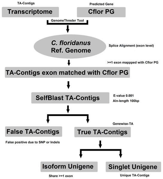 Workflow for compiling the Unigene-TA with isoform counts by contigs assignment to genes using alignment to proteins of related species.