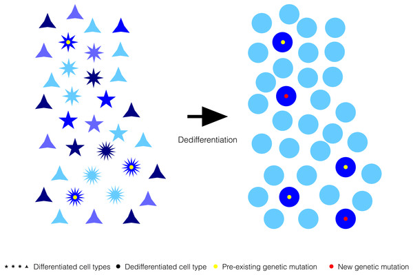 Generalized reduction in gene expression heterogeneity upon cell dedifferentiation might reduce genetic capacitance.