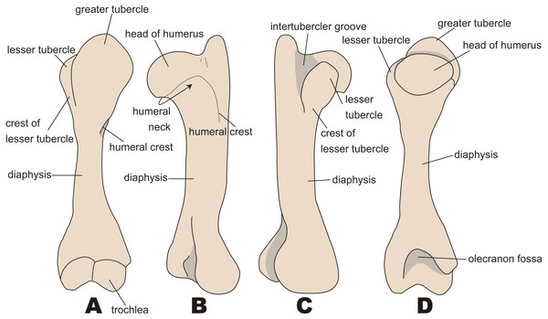 Nomenclatures of humerus (based on Paleoparadoxia tabatai, NMNS PV 5601, and Paleoparadoxia sp., UMUT CV31059).