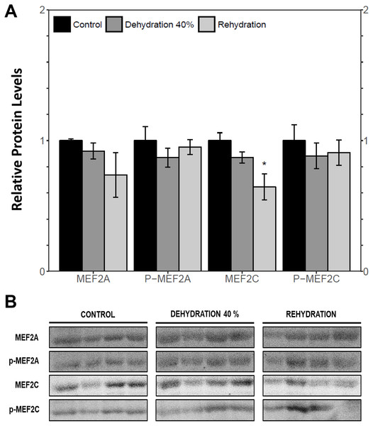Relative protein abundance of total and phosphorylated forms of MEF2A/C in wood frog skeletal muscle under control, 40% dehydration, and recovery conditions, as determined by immunoblotting.